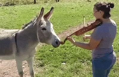 漂亮女士对着一头驴拉小提琴